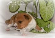 продаются щенки Басенджи,  африканская нелающая собака