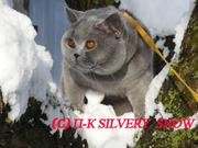 Британские котята на продажу с доставкой из Москвы