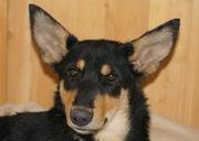 Умненькая,  ласковая собака,  полностью ориентирована на человека.