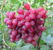 купим виноград оптом