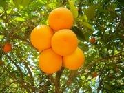 купим апельсин оптом